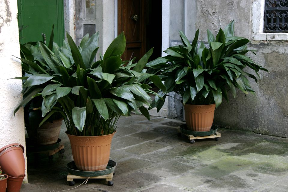 A pair of healthy cast-iron plants flanking an entrance