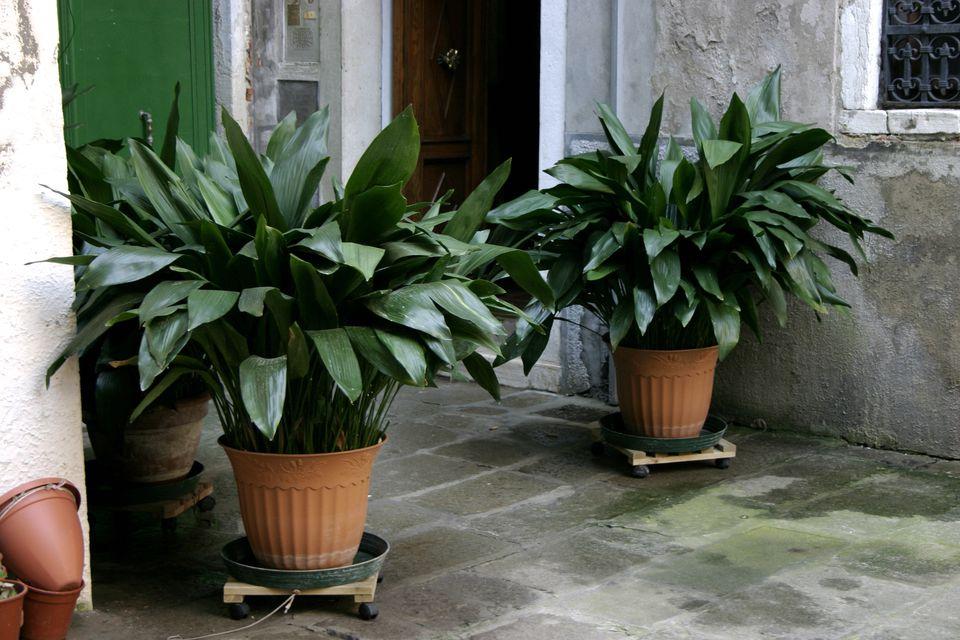Cast-iron plants