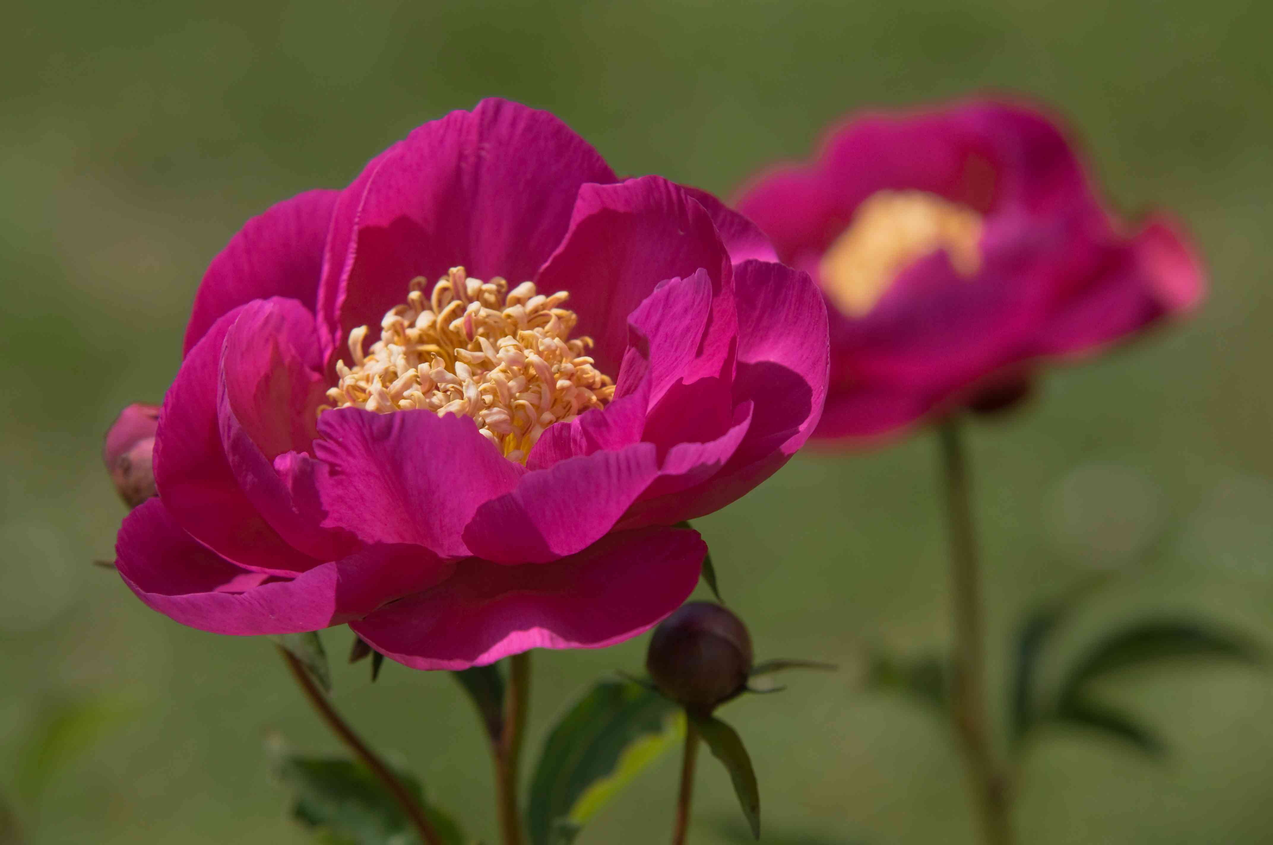 Kame-no-kegoromo peonies with pink flowers and yellow anthers in sunlight