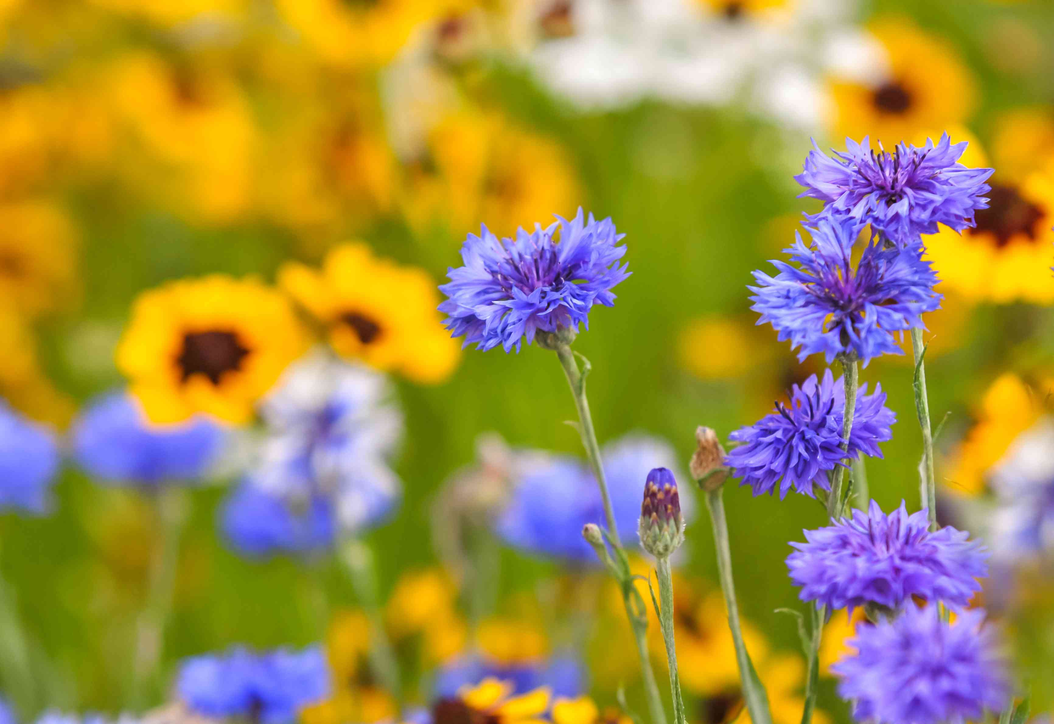 Cornflower with purple petals and buds in front of yellow flowers