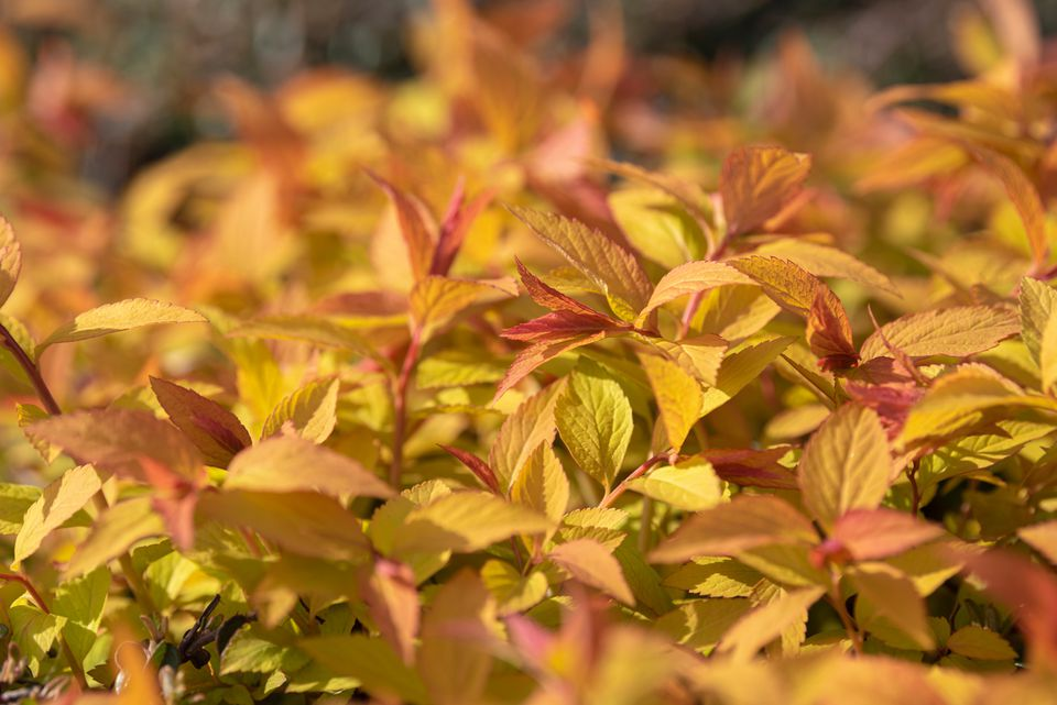 Goldflame spirea plant with orange and yellow leaves in sunlight closeup