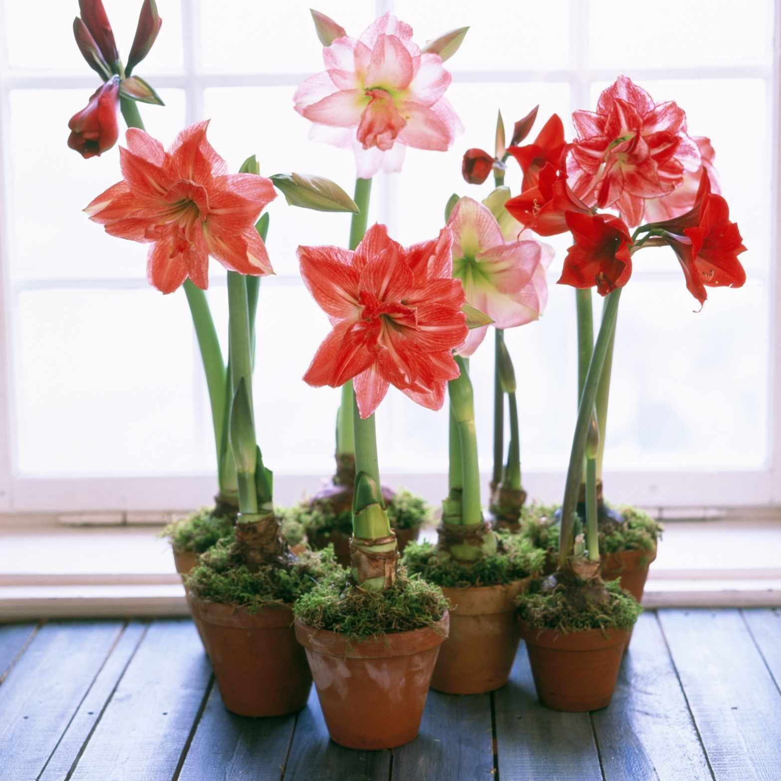 assorted amaryllis plants