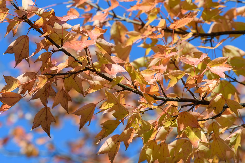 Leaves of the Trident Maple in Autumn