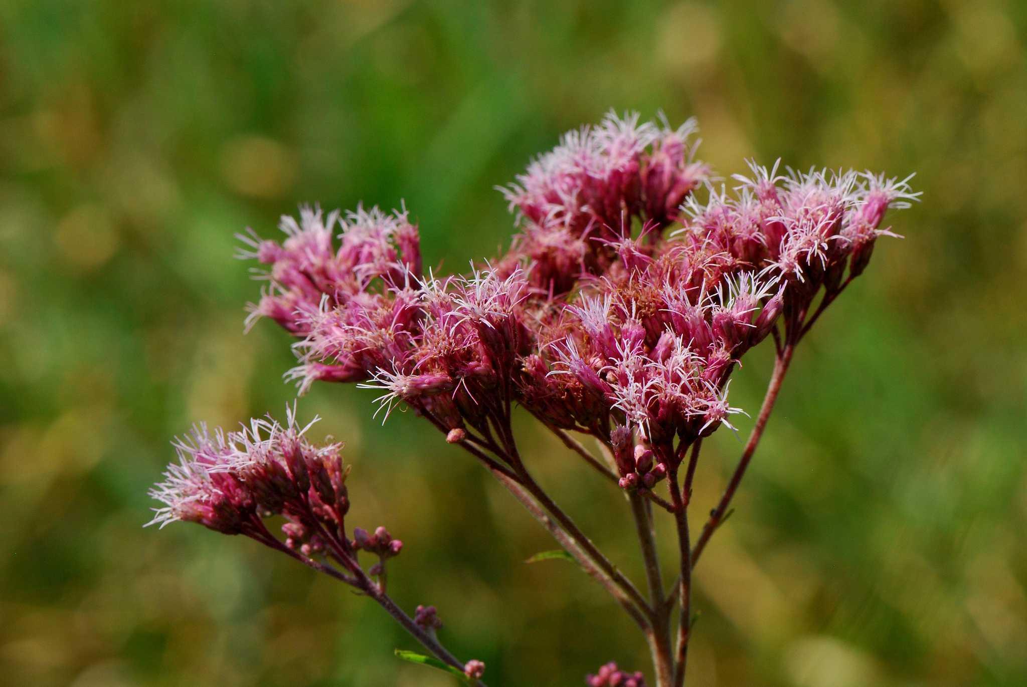 moteado Joe-Pye Weed (Eutrochium maculatum)