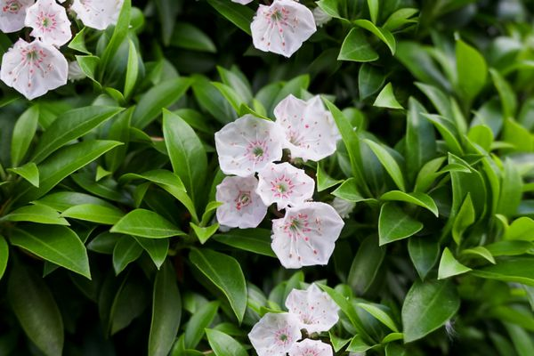 Mountain laurel shrub with white flowers