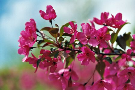 Landscape trees and shrubs with purple leaves crabapple tree mightylinksfo