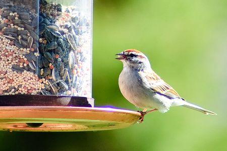 Chipping Sparrow At A Bird Feeder
