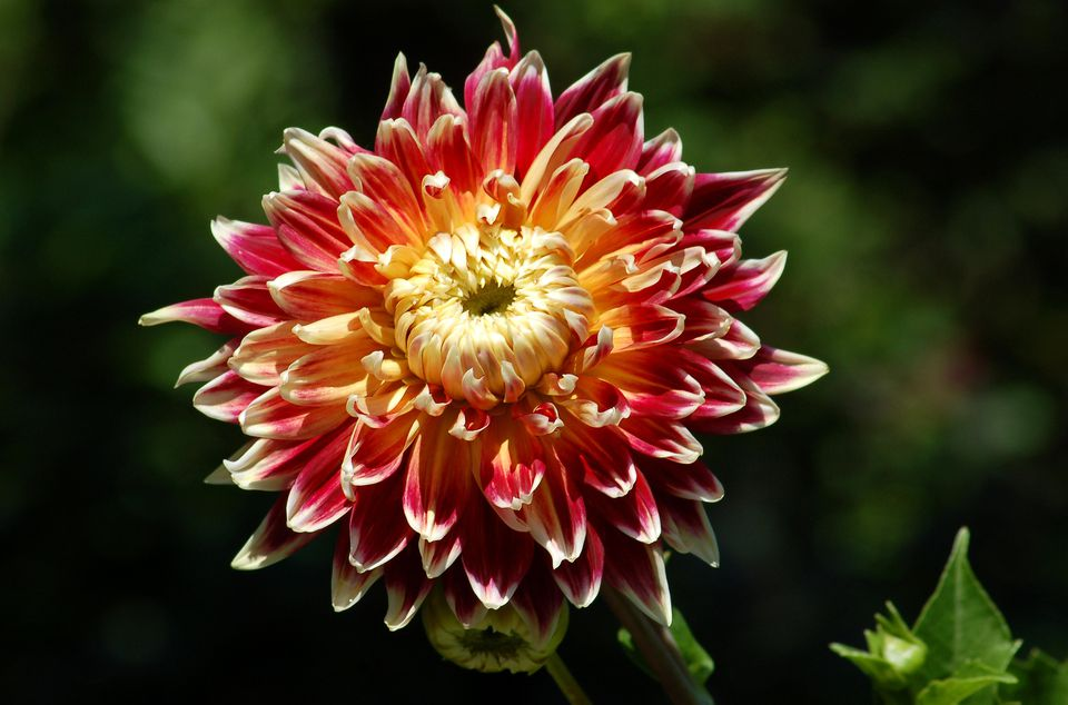 Image of Akita dahlia, which is red, yellow and white.