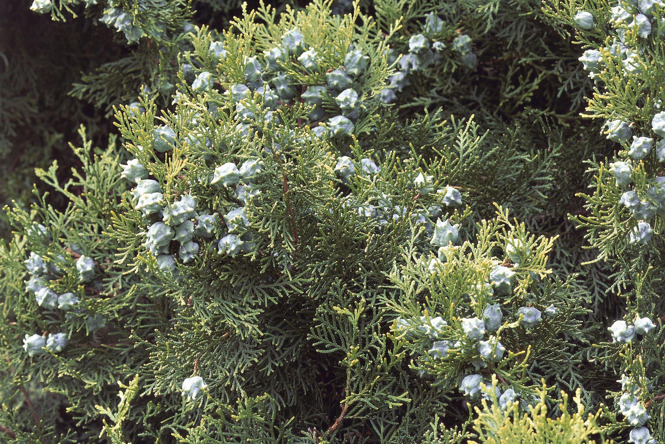 thuja shrub