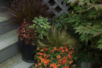Ornamental grasses and orange million bells
