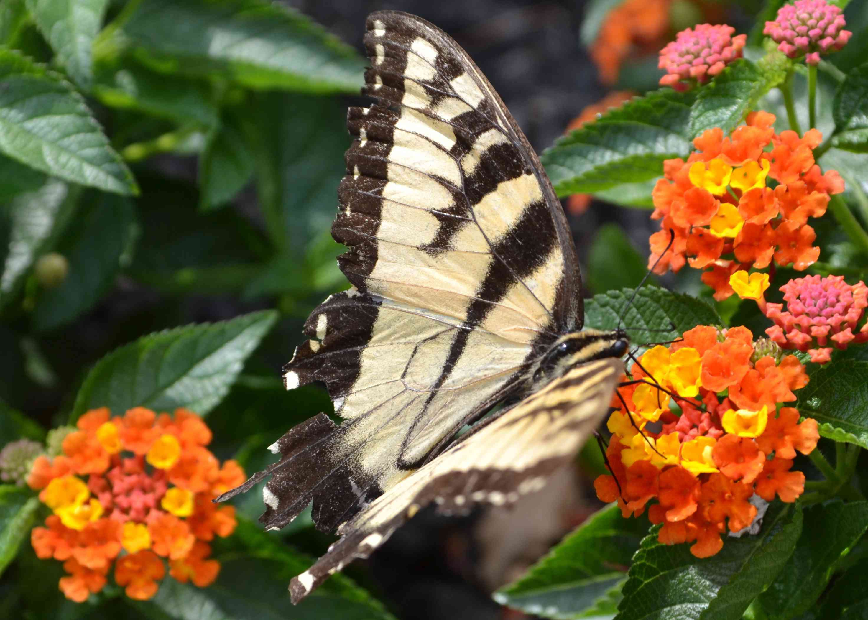Bloodflower plant with white and black butterfly on tiny clusters of yellow and orange flowers
