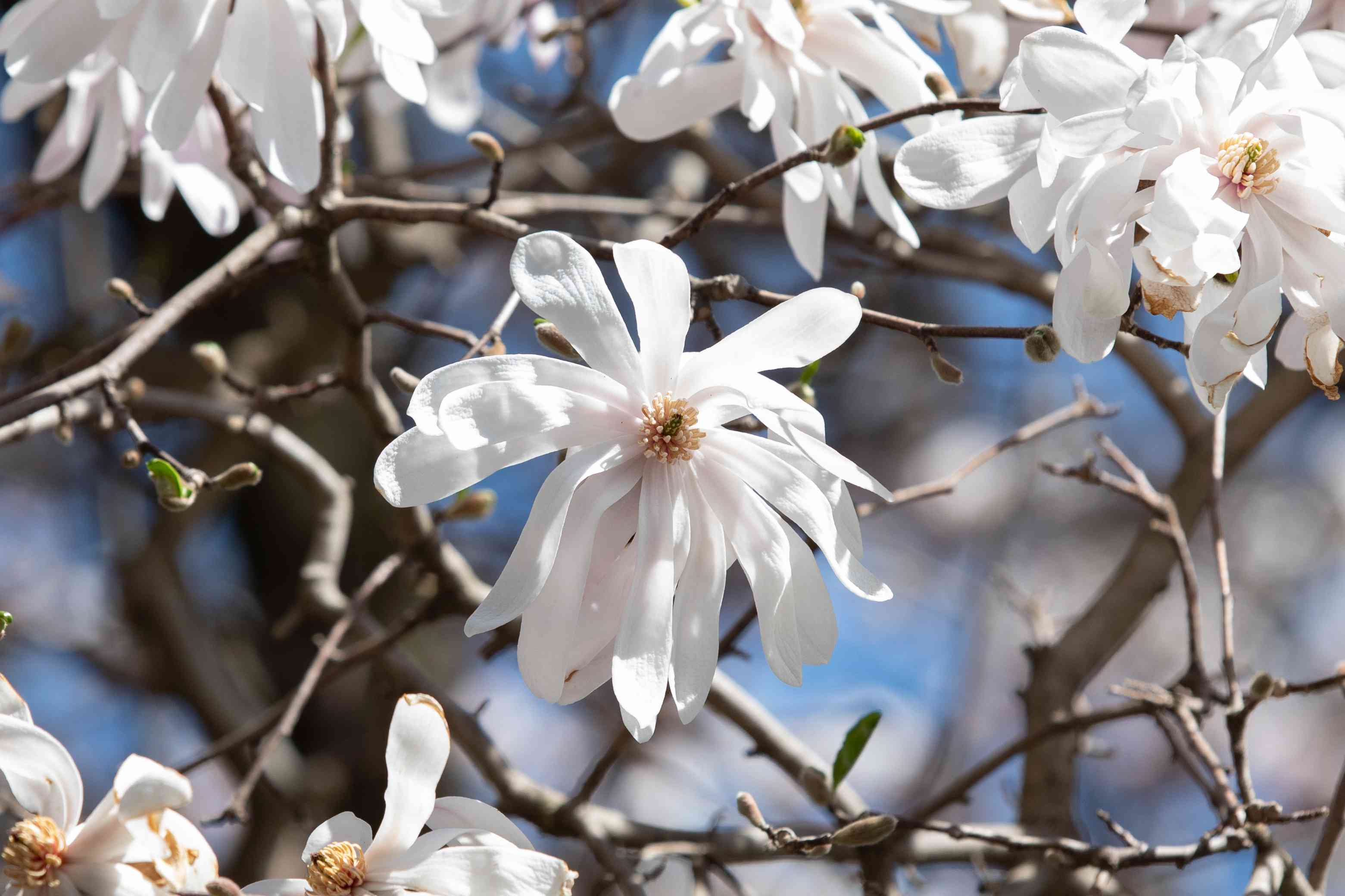 Star magnolia tree with white star-shaped flowers in branches closeup