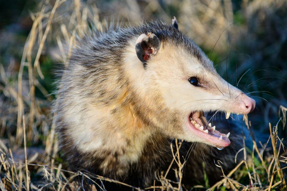 Closeup of opossum displaying teeth.