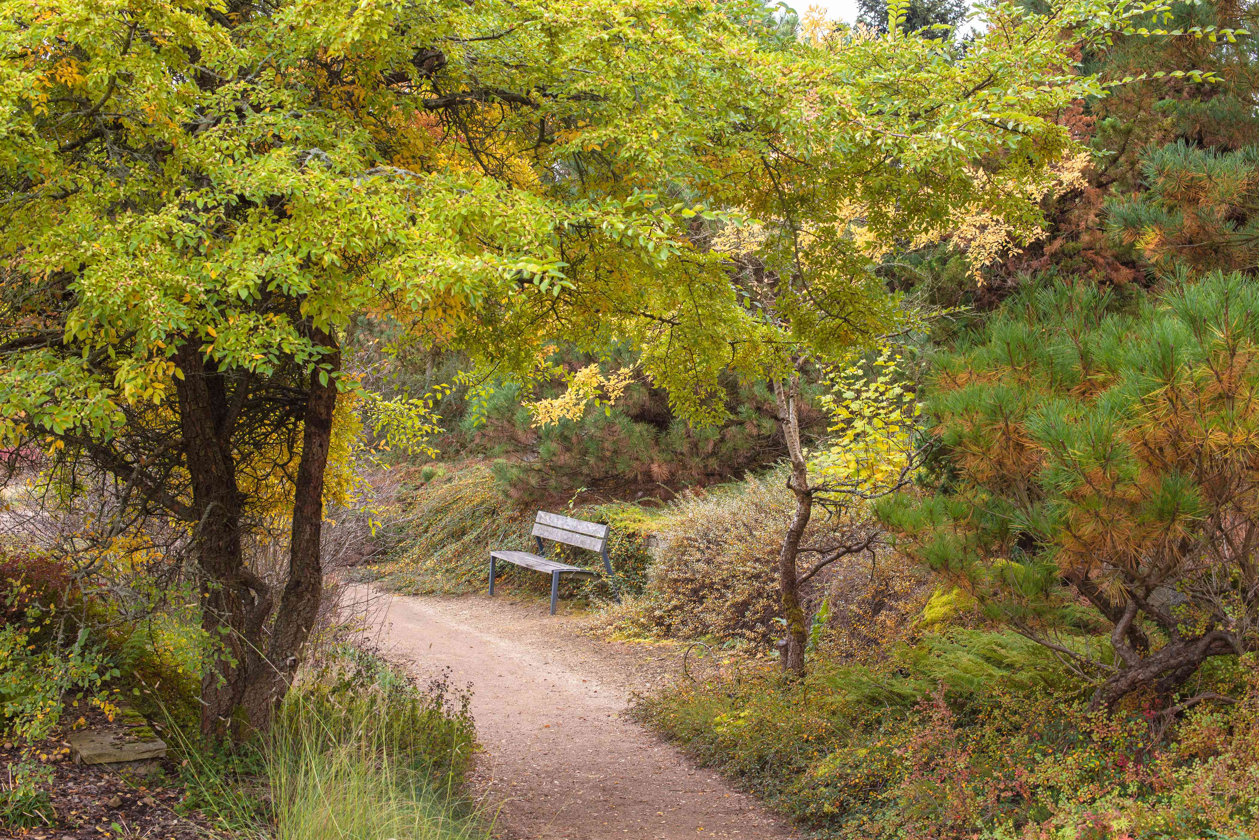 Lacebark elm tree with bright green and yellow leaves next to pathway and bench