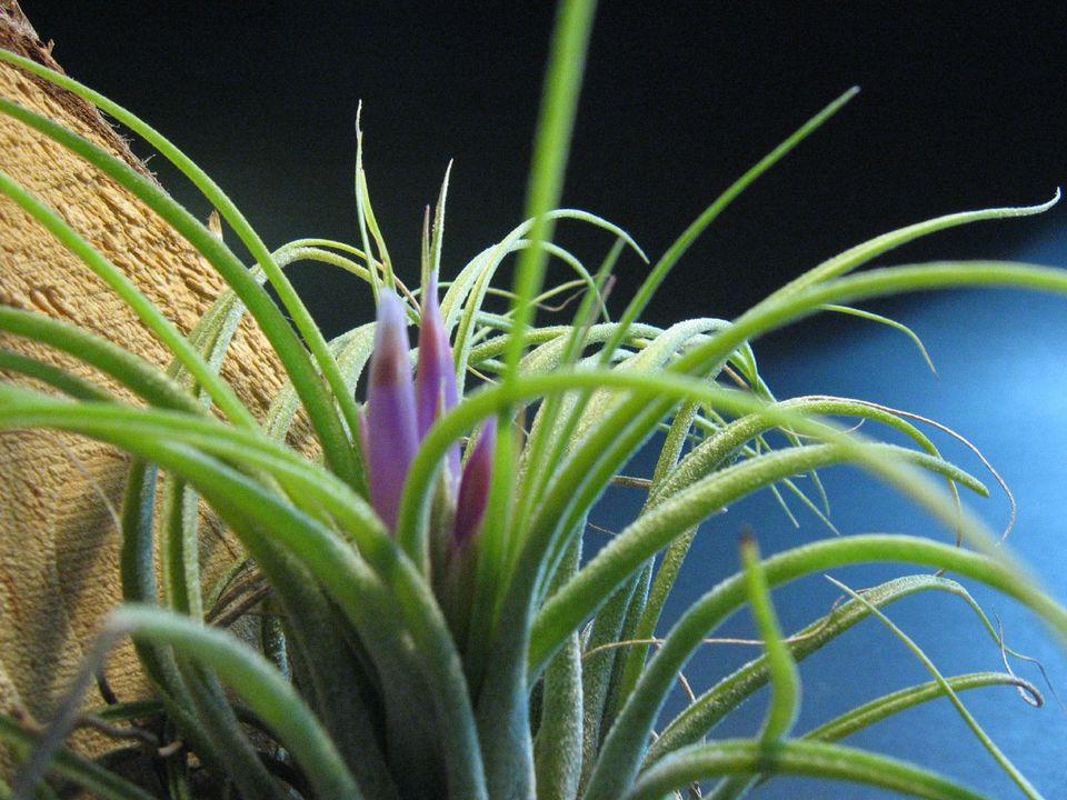Tillandsia kolbii close up with purple bloom