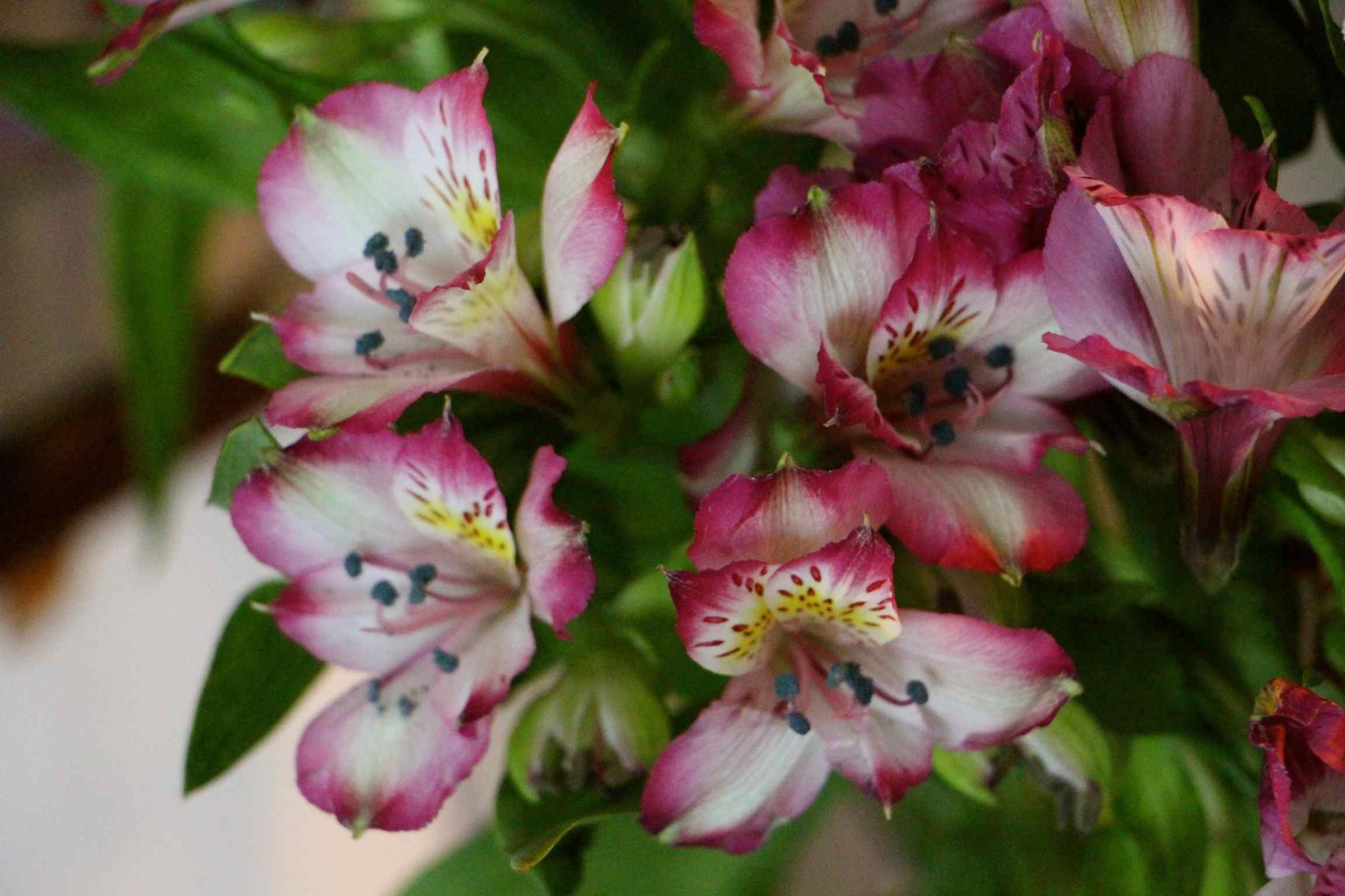 A dozen Alstroemeria flowers in bloom.