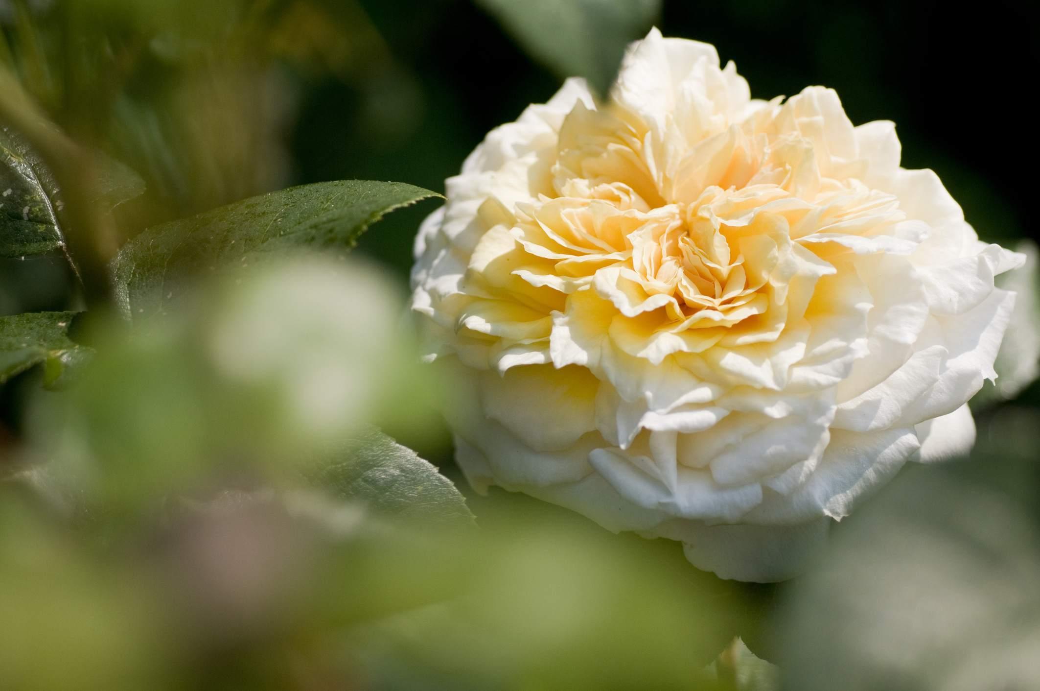 'Fair Bianca' English rose with cream petals