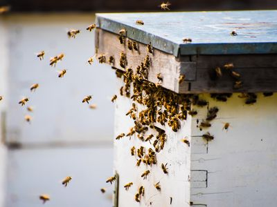 Bees returning to a beehive, Vancouver, British Columbia, Canada