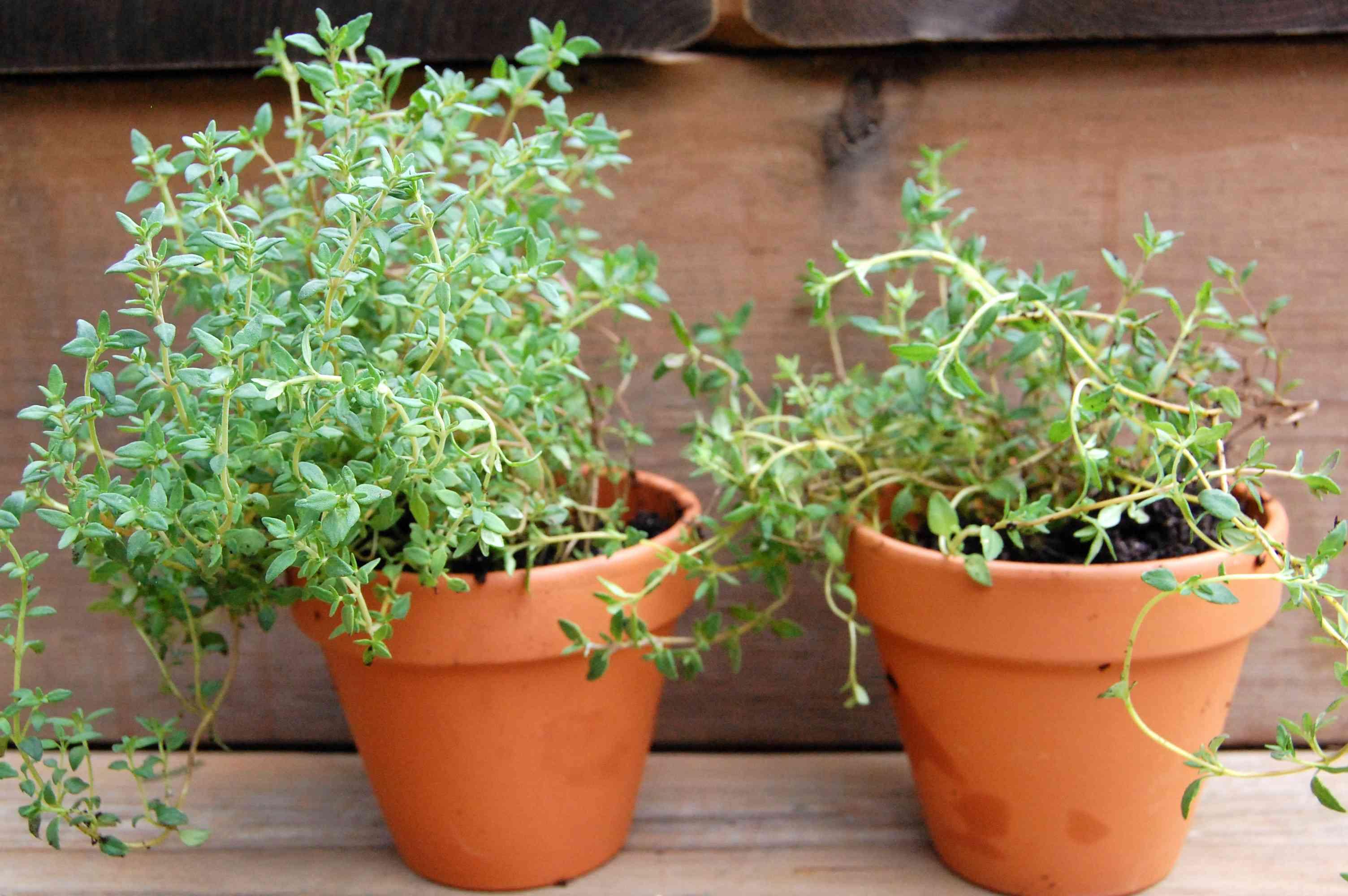 leggy, woody herbs