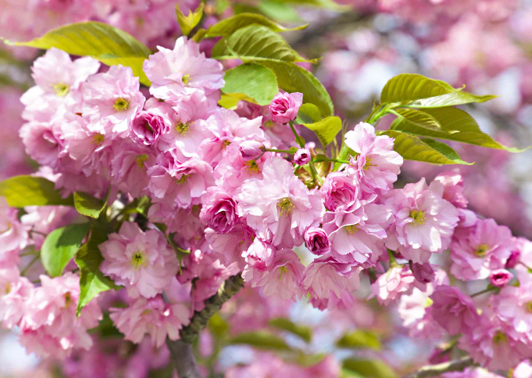 Crabapple tree with pink blooms.
