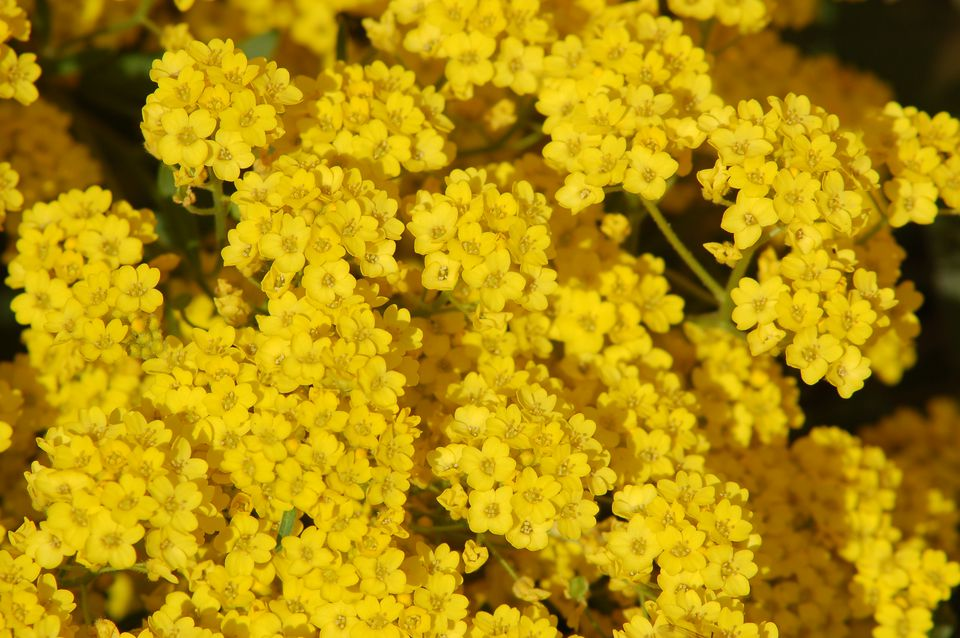 Yellow alyssum in bloom.
