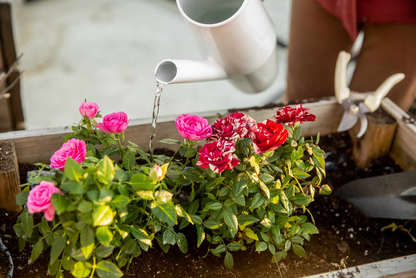 White watering can pouring water over pink and red and white splattered roses in garden bed
