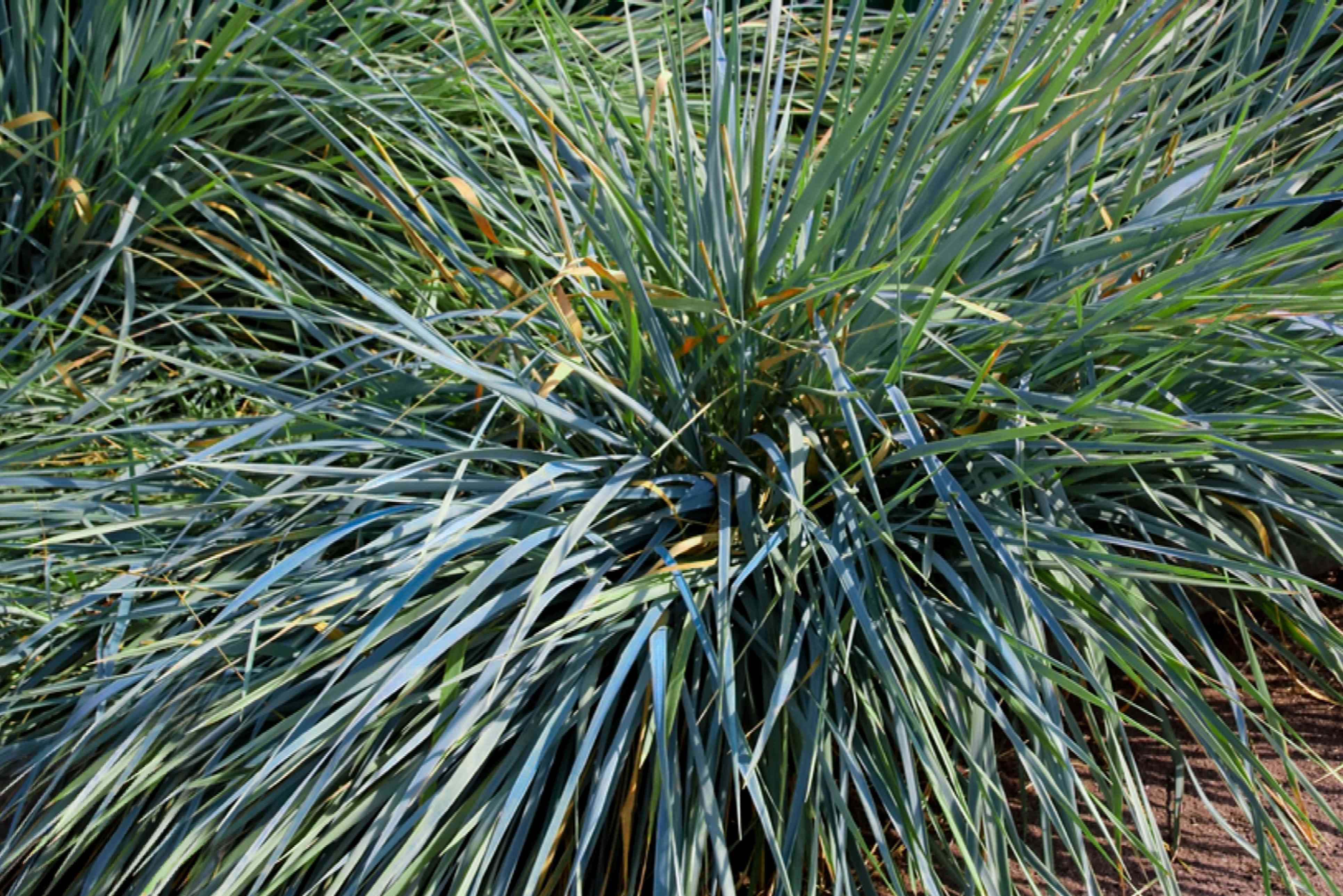 Ornamental grass with long bluish-green blades in sunlight