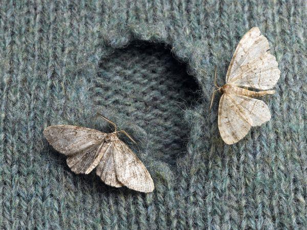 moths eating a sweater