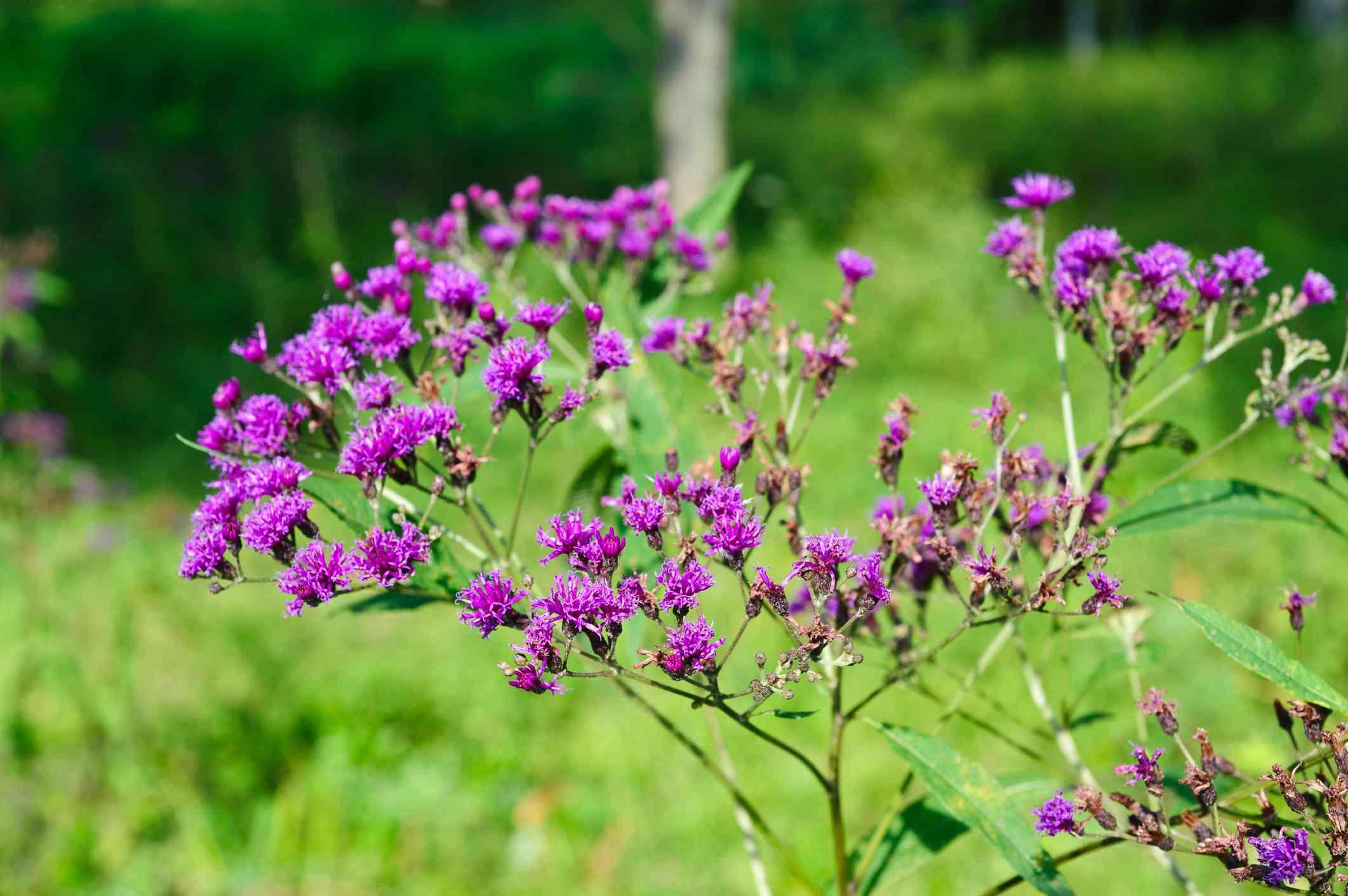 Ironweed (Vernonia noveboracensis)