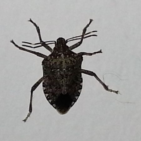 Identify Remove And Control Stink Bugs