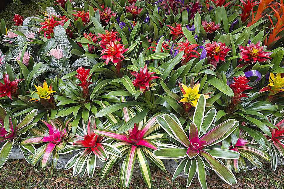 Bromeliads for sale