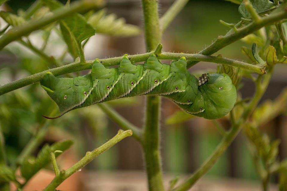 Tomato hornworm climbing the plant.