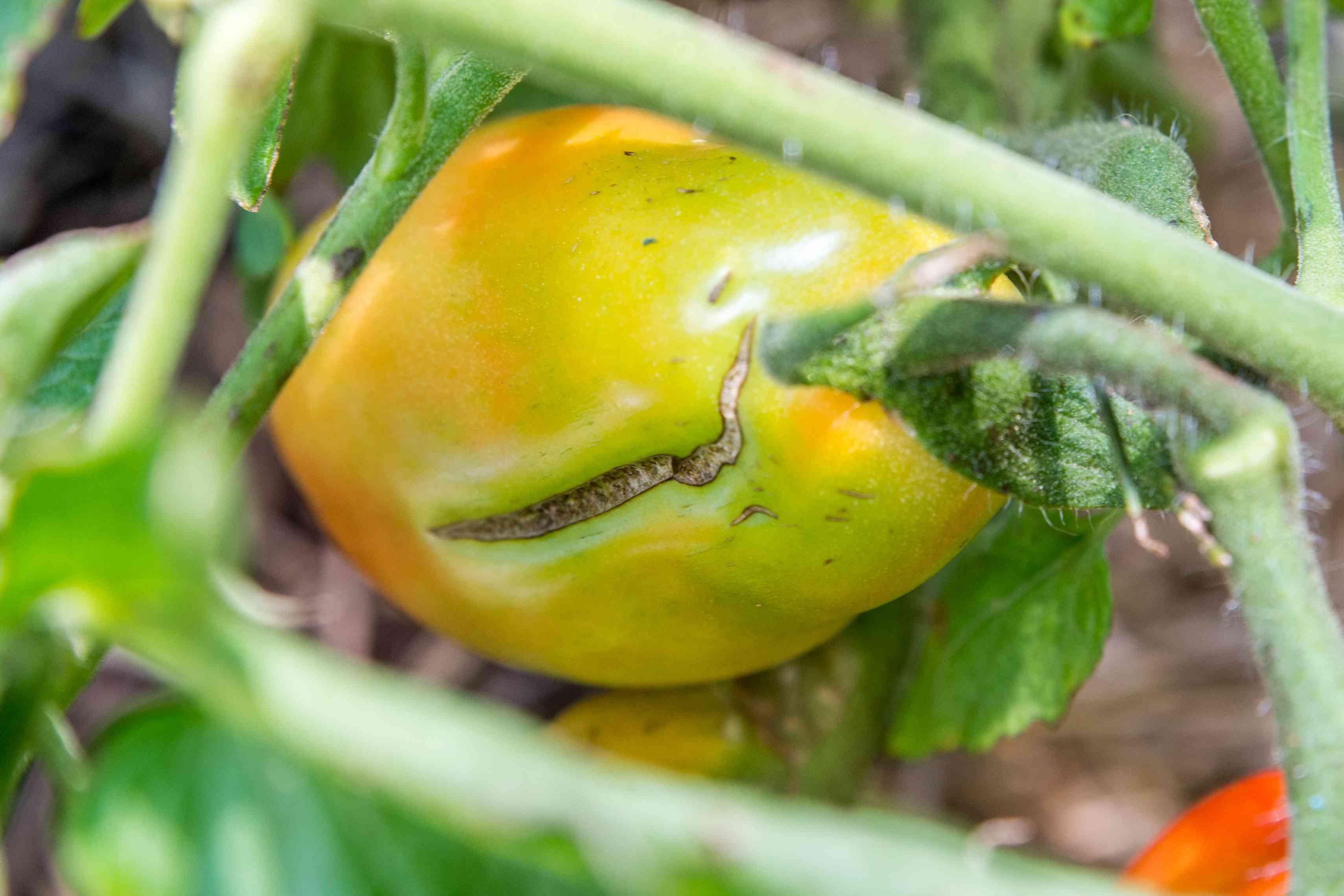 closeup of a tomato split