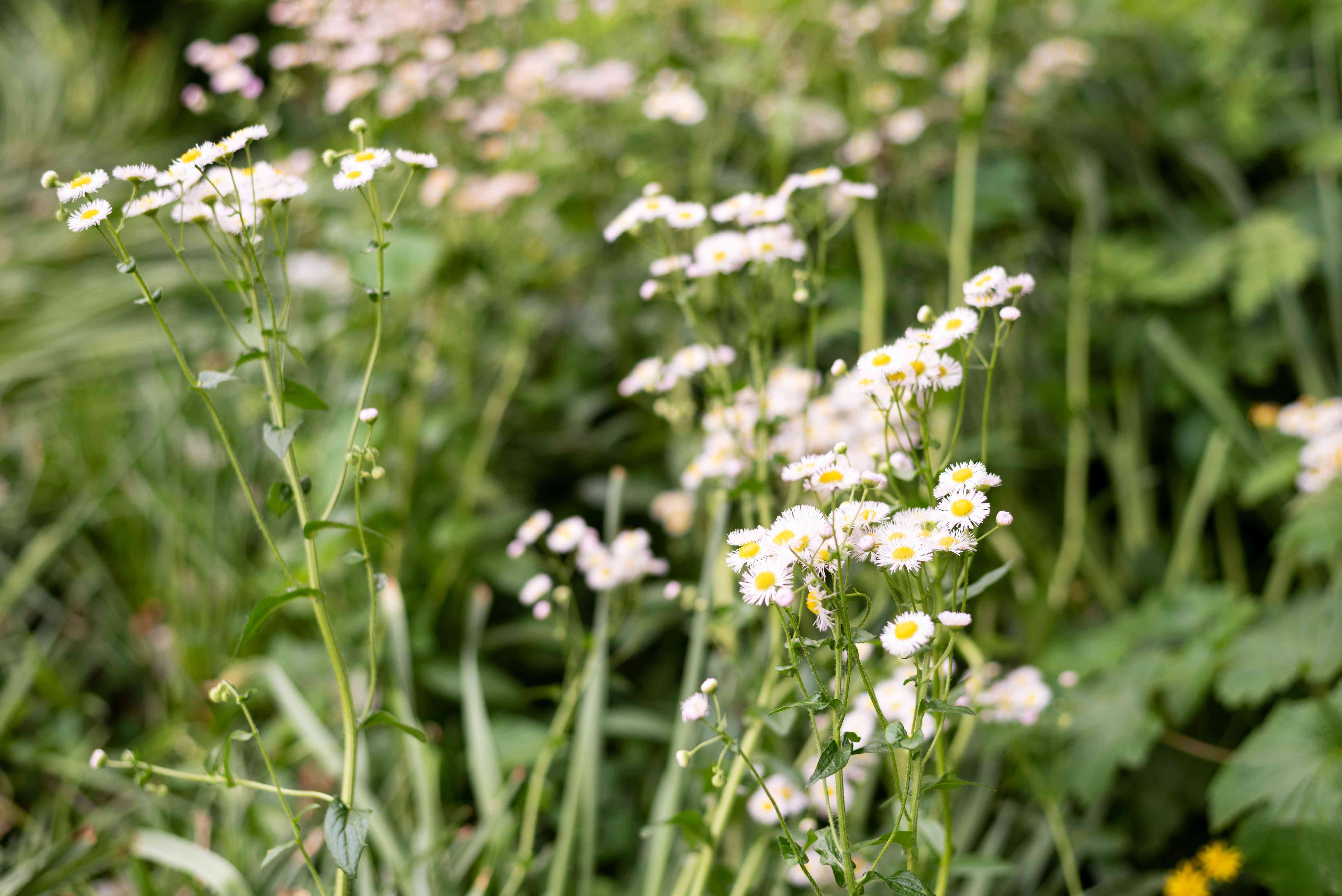 Mexican fleabane plant with small white flowers on tall thin stems
