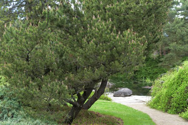 Lodgepole pine trees next to pathway in garden