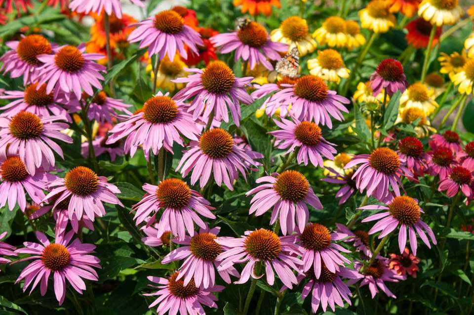 Purple coneflower plants in garden