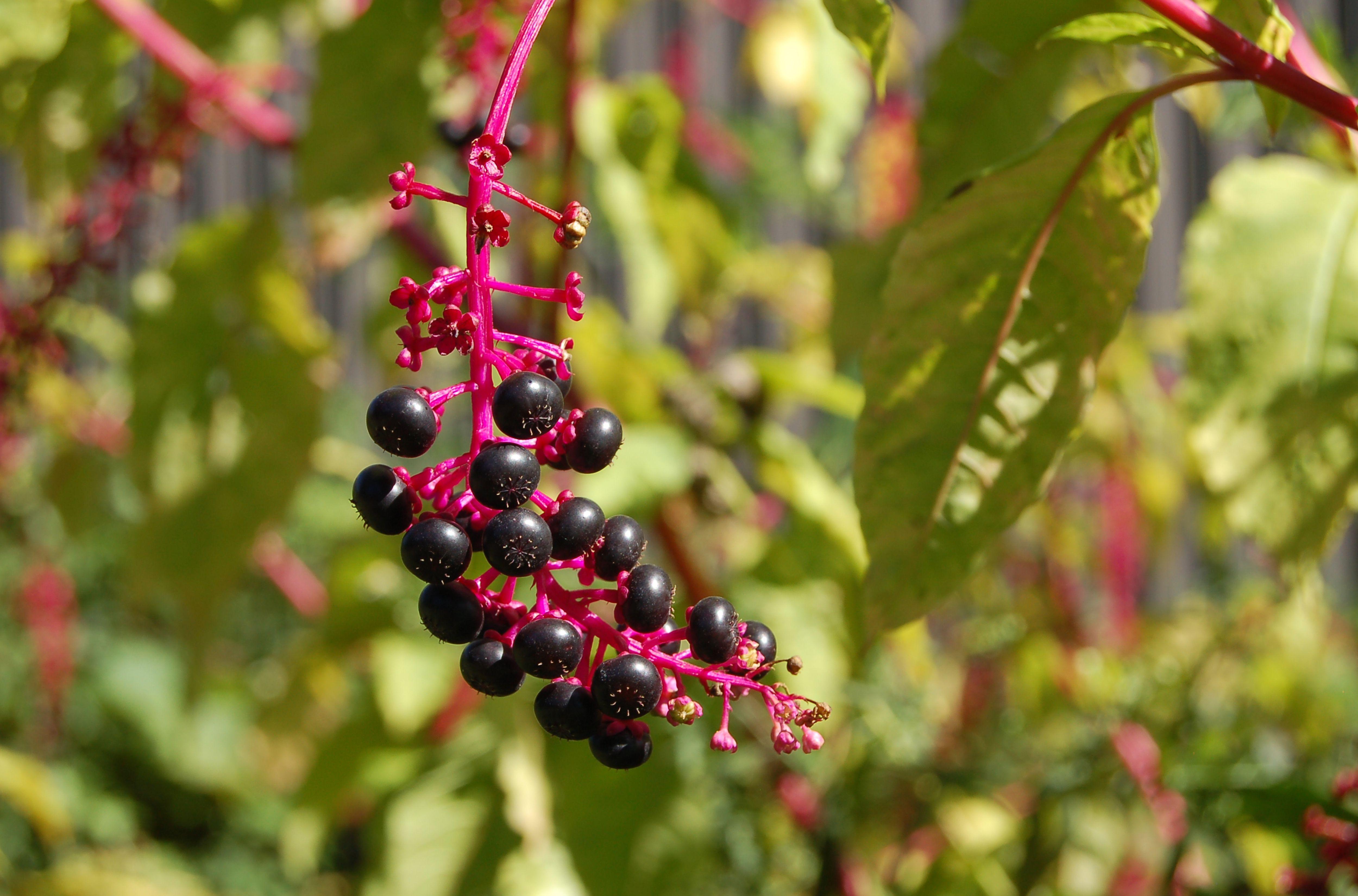 pokeweed berries.