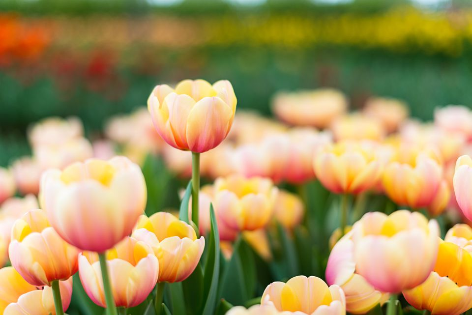 Colorful tulip : focus on the highest