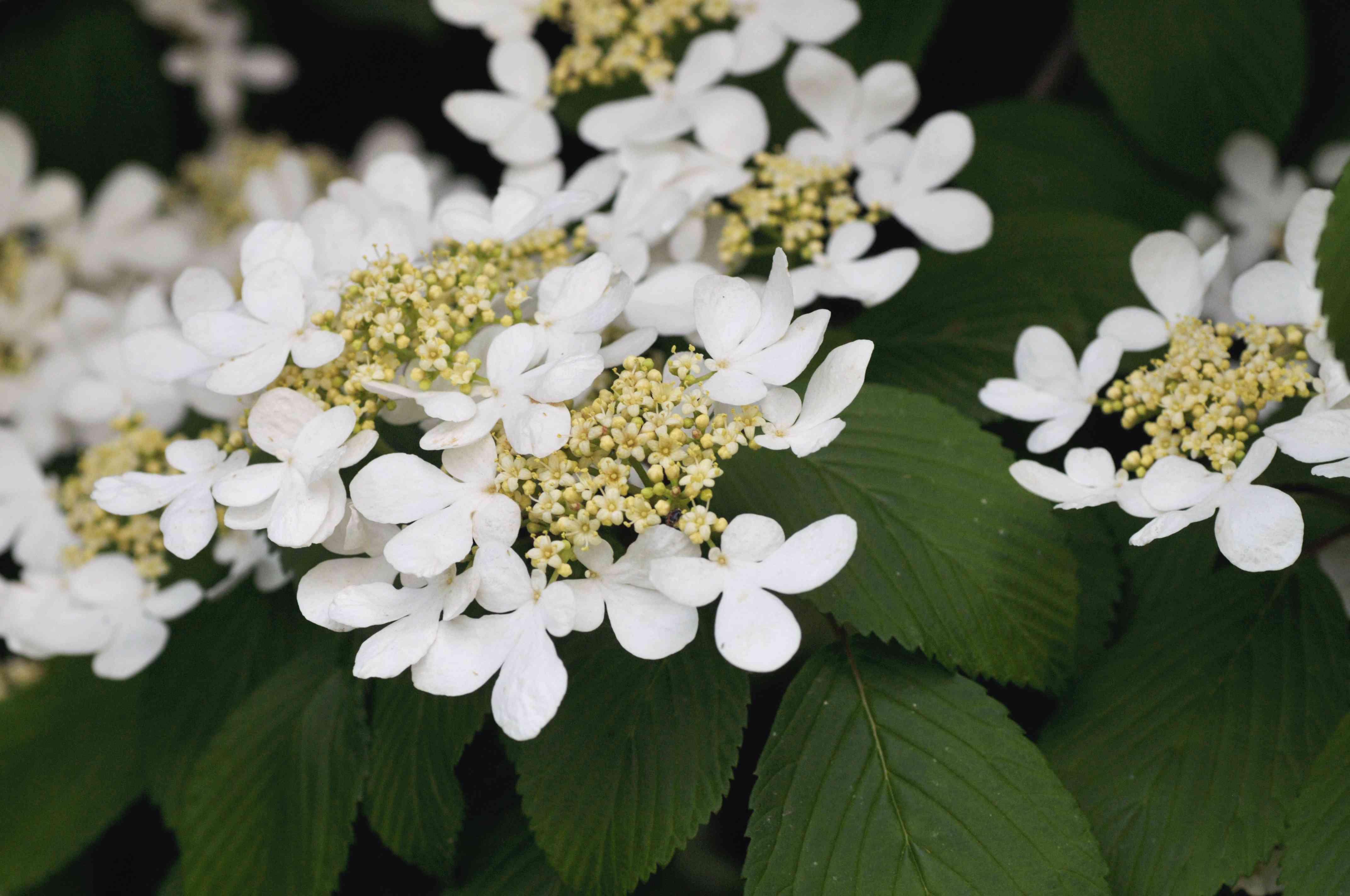Doublefile viburnum shrub small white flower clusters closeup