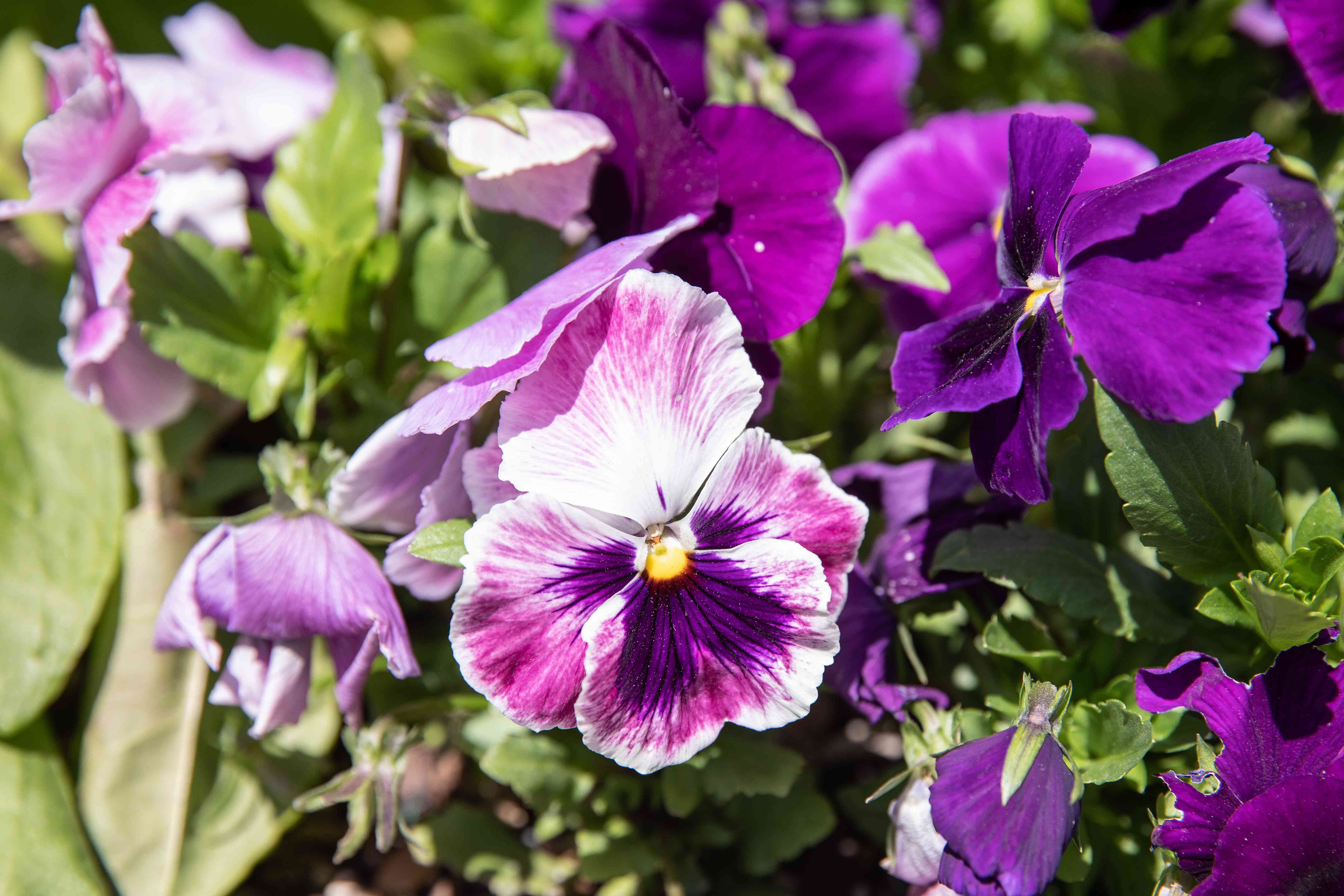 Viola and pansy flowers with purple petals and white and pink petals in sunlight