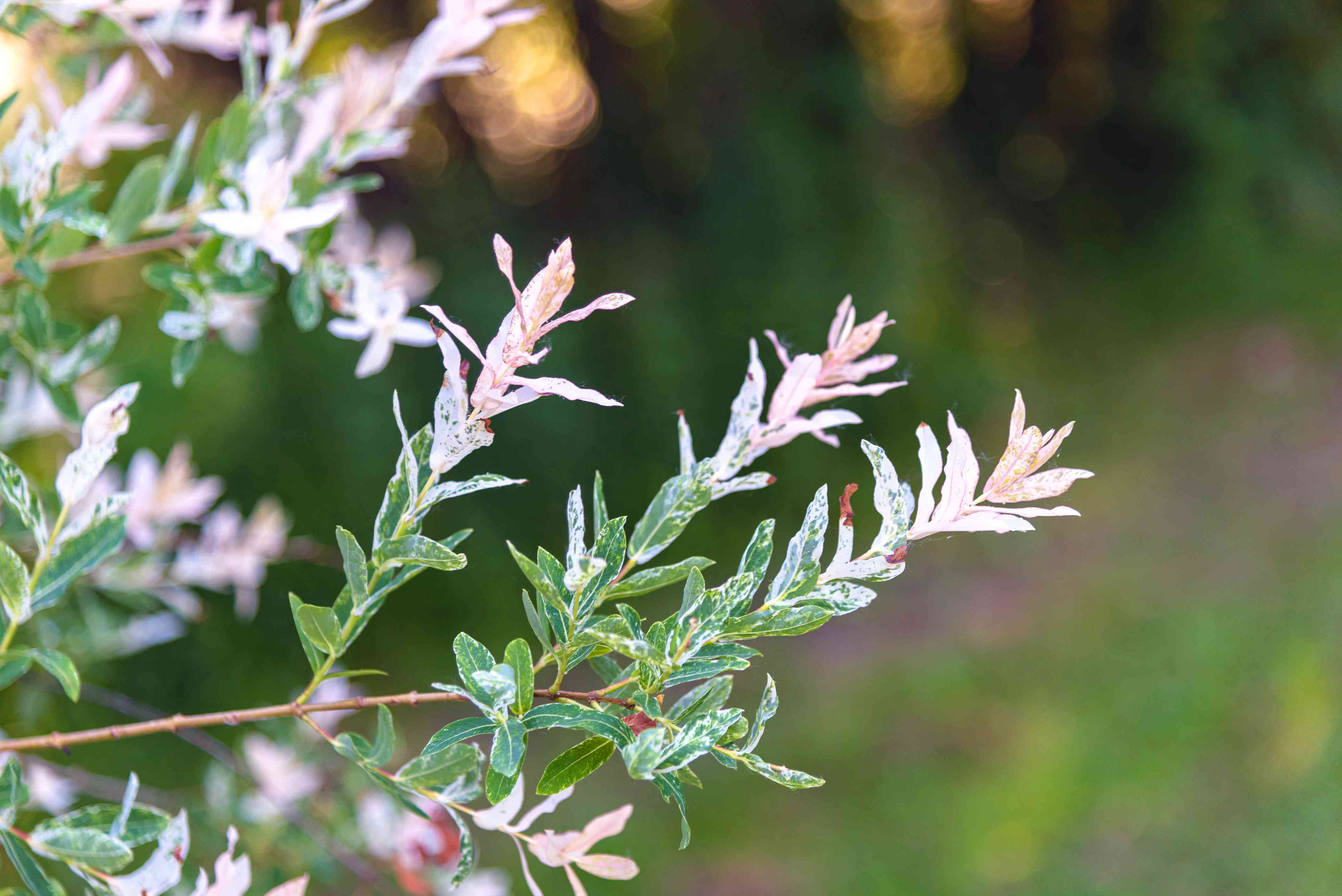 Flamingo willow plant branches with white and green variegated leaves on stem closeup
