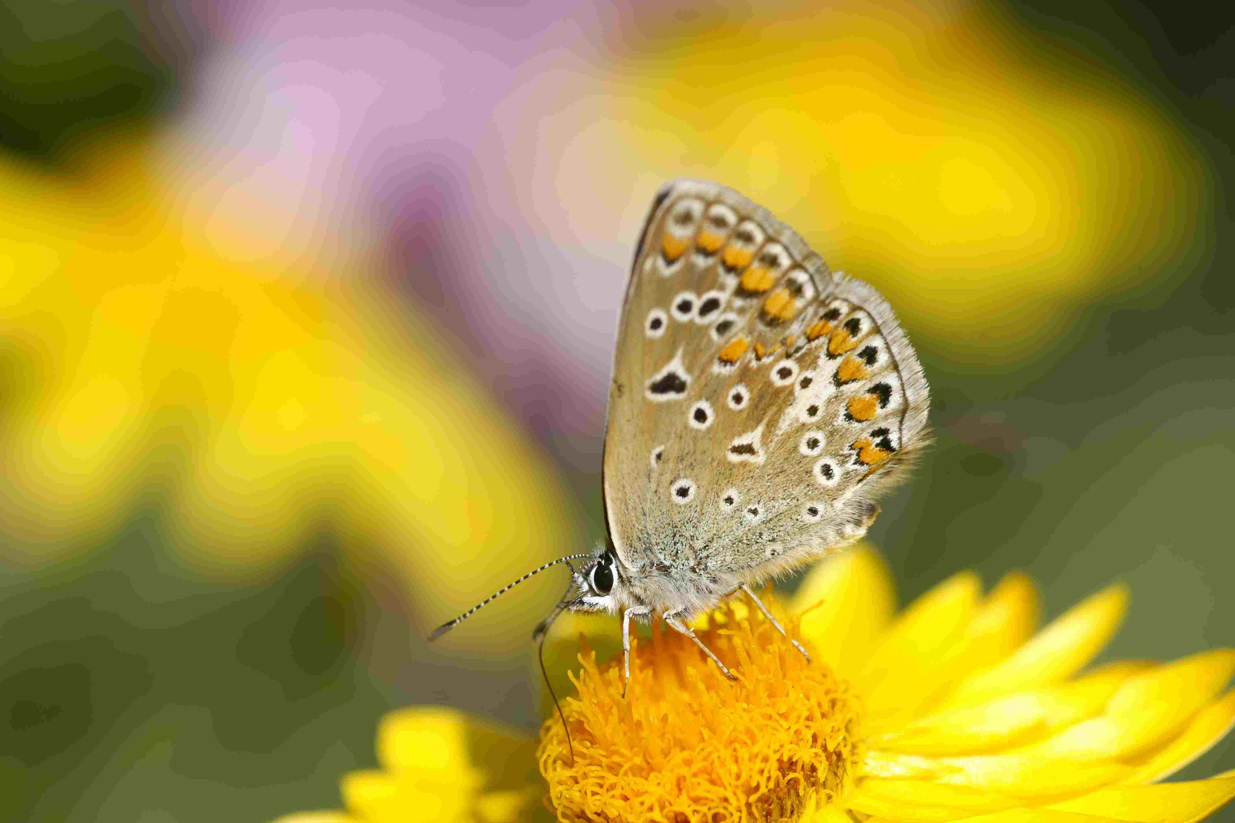 Butterfly on strawflower