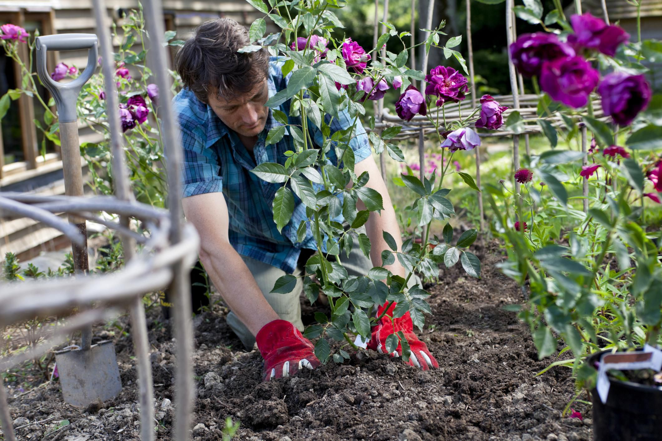 Roses In Garden: Preparing Garden Soil For Growing Roses