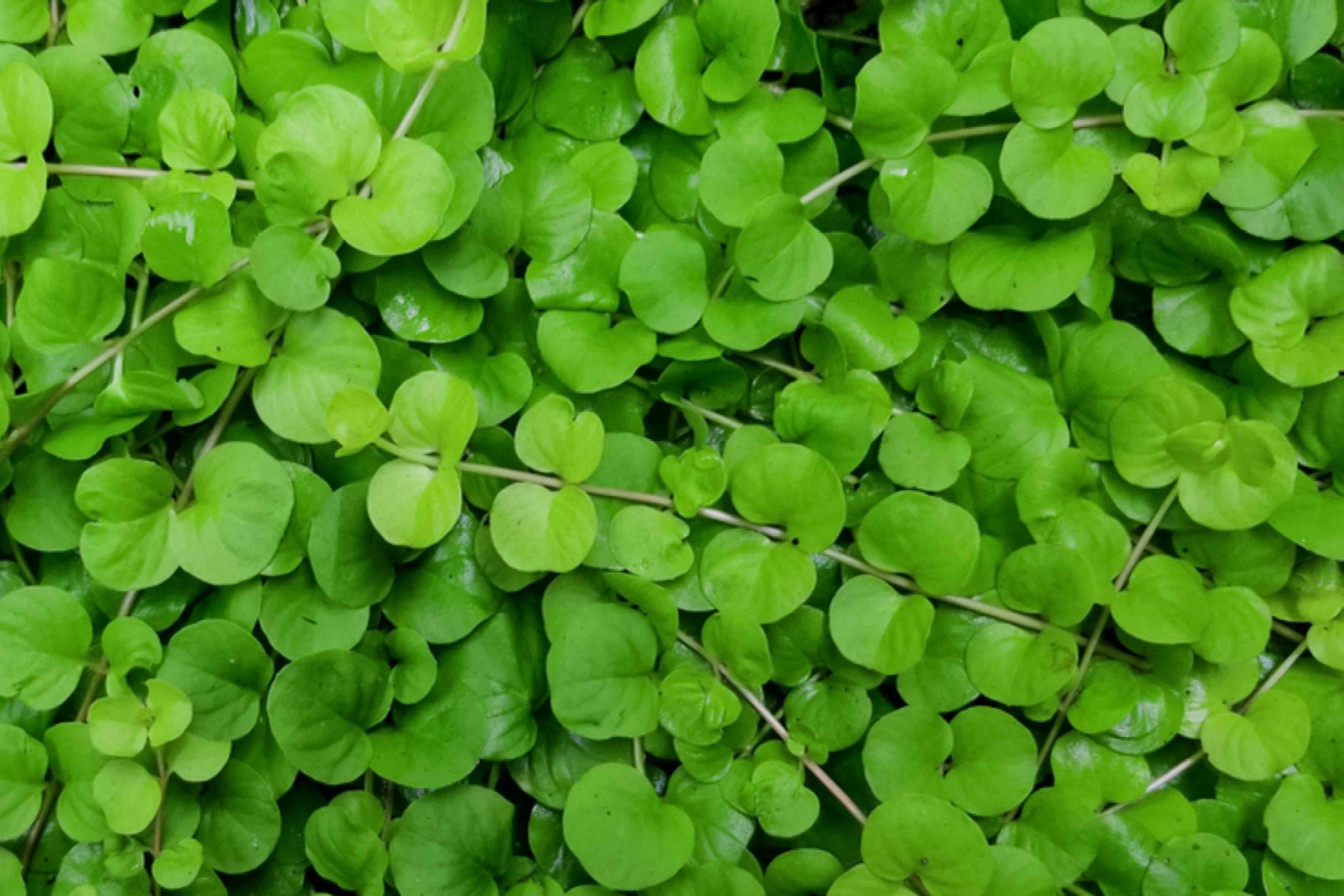 Creeping jenny vines with small round leaves closeup