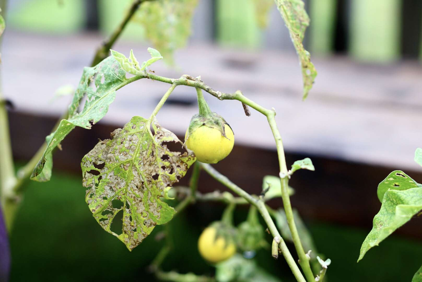 Branch with small yellow vegetable next to pest infected leaves in vegetable garden