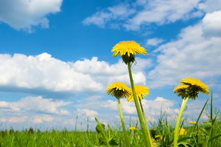 What You Should Know About Dandelions