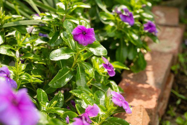 annual vinca flowers