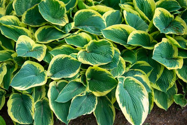 Hosta plant with variegated yellow and green leaves clustered together