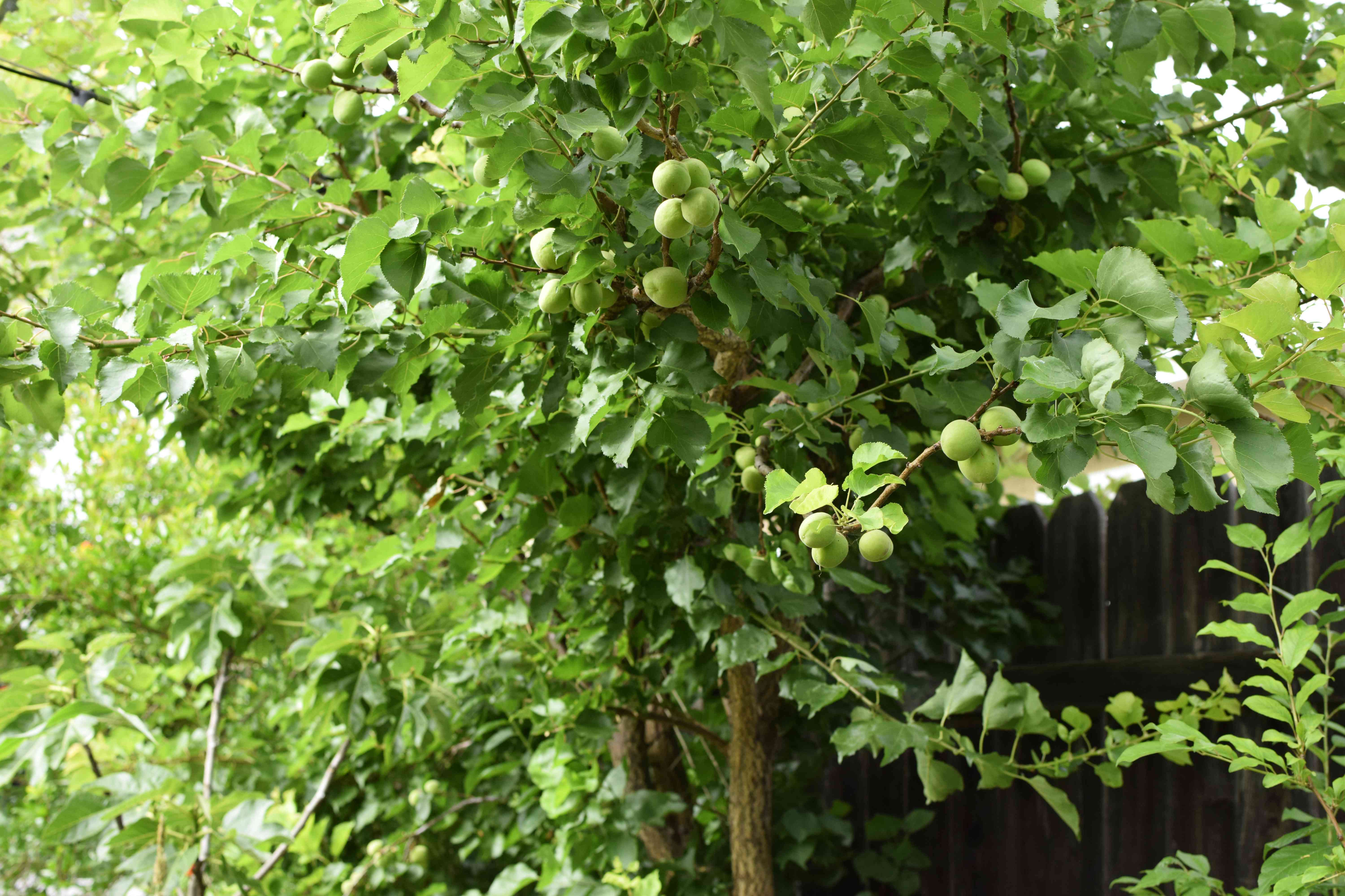 Apricot tree with bright green leaves and light green apricot fruit on branches