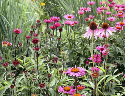 Top 15 fall blooming flowers for a perennial garden what long blooming perennials should you have in your garden mightylinksfo